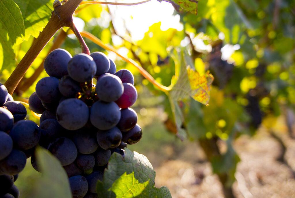 découvertes des Vignobles et dégustations