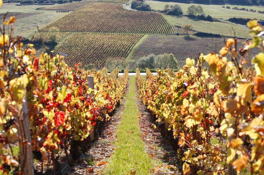 vignes dans le Beaujolais