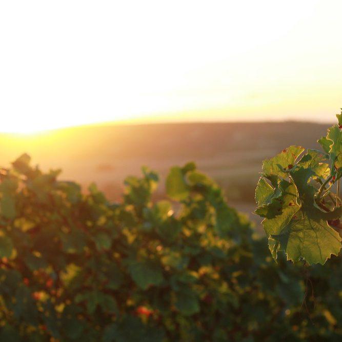 Visiter la Vallée Du Rhône : les vignes de Condrieu